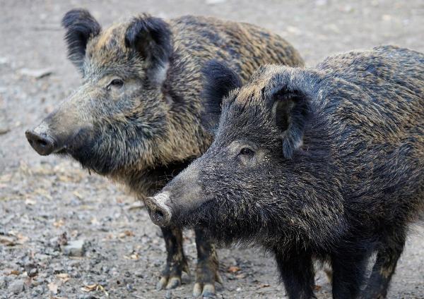 Auch Hameln Pyrmont ist von der Afrikanischen Schweinepest bedroht.